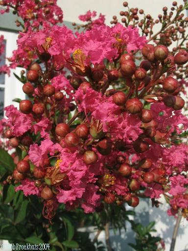 Lagerstroemia indica 'Rubra' and 'Red Rocket'