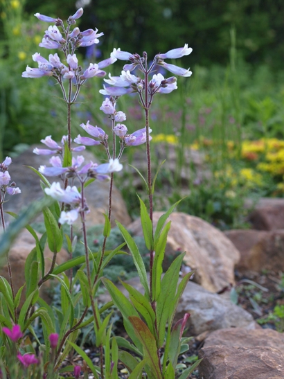 Penstemon hirsutus