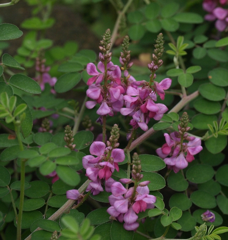 Indigofera pseudotinctoria 'Rose Carpet': prostrate indigo bush